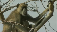 Adult Savanna Baboon sitting in tree. Niassa Reserve, Mozambique. Stock Footage