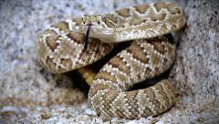 A Mojave Rattlesnake rattles and flicks tongue in Arizona, USA. Stock Footage