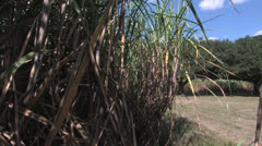 CANE CLOSE TO OAKS - stock footage