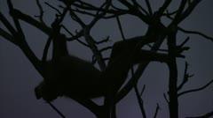 Savanna Baboon sleeping in tree in Niassa Reserve, Mozambique. Stock Footage