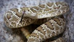 A Mojave Rattlesnake rattles and flicks tongue in Arizona, USA. - stock footage