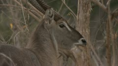 Antelope standing and eating in Niassa Reserve, Mozambique. Stock Footage