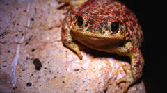 Red-spotted Toad breathing rapidly at night in Arizona, USA. Stock Footage