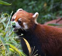 Red panda shining cat eating bamboo panda breeding center Stock Photos