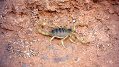 Pregnant Giant Desert Hairy Scorpion in Arizona (largest scorpion in NA). Stock Footage