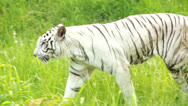 Stock Video Footage of White Bengal Tiger