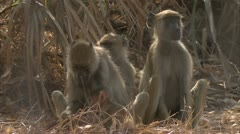 Savanna Baboon family sitting and eating. Niassa Reserve, Mozambique. Stock Footage
