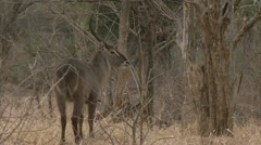 Antelope foraging in Niassa Reserve, Mozambique. Stock Footage
