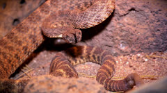 A Tiger Rattlesnake rattles loudly and flicks tongue. Stock Footage