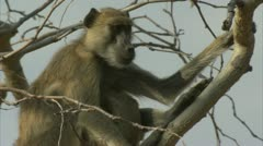 Female adult Savanna Baboon with infant. Niassa Reserve, Mozambique. Stock Footage