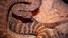 A Tiger Rattlesnake rattles loudly and flicks tongue. - stock footage