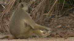Savanna Baboons eating in Niassa Reserve, Mozambique. Stock Footage