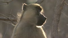 Adult Savanna Baboon against tree branch. Niassa Reserve, Mozambique. Stock Footage