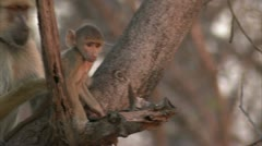 Adult Savanna Baboon with infants in tree in Niassa Reserve, Mozambique. Stock Footage