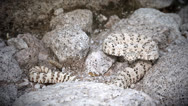 Stock Video Footage of A rare WHITE Southwestern Speckled Rattlesnake flicks tongue and retreats.