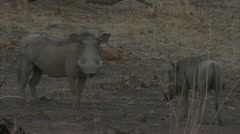 Warthogs standing in Niassa Reserve, Mozambique. - stock footage