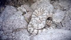 A rare WHITE Southwestern Speckled Rattlesnake rattles loudly and retreats. - stock footage