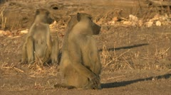 Adult Savanna Baboons sitting in Niassa Reserve, Mozambique. Stock Footage