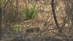 Savanna Baboon and mongoose in Niassa Reserve, Mozambique. Stock Footage