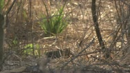 Stock Video Footage of Savanna Baboon and mongoose in Niassa Reserve, Mozambique.