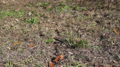 LEAF-CUTTER ANTS 08 1080 Stock Footage