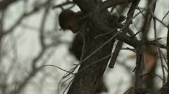 Infant Savanna Baboon in tree in Niassa Reserve, Mozambique. Stock Footage