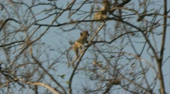 Infant Savanna Baboons in tree in Niassa Reserve, Mozambique. Stock Footage