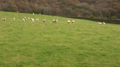 Flock of sheep run towards you across a field. Stock Footage
