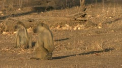 Adult Savanna Baboons sitting and staring. Niassa Reserve, Mozambique. Stock Footage