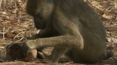 Adult Savanna Baboon sitting eating fruit in Niassa Reserve, Mozambique. Stock Footage