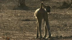 Savanna Baboon standing and picking. Niassa Reserve, Mozambique. Stock Footage
