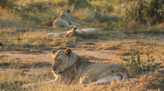 A pride of lioness relaxing in the veld . Stock Footage