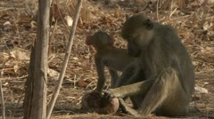 Adult Savanna Baboons eating fruit in Niassa Reserve, Mozambique. Stock Footage