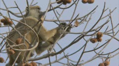 Adult Savanna Baboon in tree, eating fruit. Niassa Reserve, Mozambique. Stock Footage