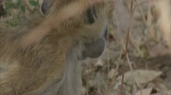 Savanna Baboon standing and eating in Niassa Reserve, Mozambique. Stock Footage
