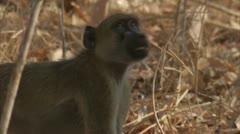 Young Savanna Baboon in Niassa Reserve, Mozambique. Stock Footage