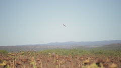 Hawk flying above sunflower field Stock Footage