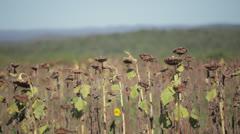 Sunflower Field 2 Stock Footage