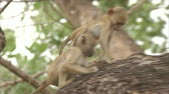 Infant Savanna Baboons in tree, eating. Niassa Reserve, Mozambique. Stock Footage