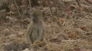 Stock Video Footage of Infant Savanna Baboon foraging in Niassa Reserve, Mozambique.