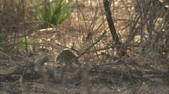 Mongooses and Savanna Baboon in Niassa Reserve, Mozambique. Stock Footage