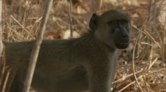Young Savanna Baboon standing in Niassa Reserve, Mozambique. Stock Footage
