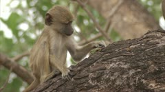 Infant Savanna Baboons eating insects from bark. Niassa Reserve, Mozambique. Stock Footage