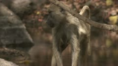 Female adult Savanna Baboon standing at water in Niassa Reserve, Mozambique. Stock Footage