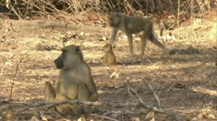 Savanna Baboons walking and foraging in Niassa Reserve, Mozambique. - stock footage