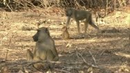 Stock Video Footage of Savanna Baboons walking and foraging in Niassa Reserve, Mozambique.