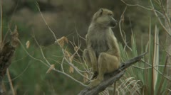 Savanna Baboon on branch, watching its surroundings. Niassa Reserve, Mozambique. Stock Footage