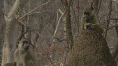 Adult Savanna Baboons sitting on anthills. Niassa Reserve, Mozambique. Stock Footage