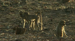 Infant Savanna Baboons in Niassa Reserve, Mozambique. Stock Footage