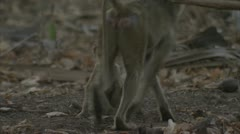 Infant Savanna Baboon with vegetable. Niassa Reserve, Mozambique. Stock Footage